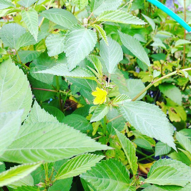 モロヘイヤに花が咲きましたので、撤去します。まだ、咲いてない後作のハウス分だけになりました!毒なので家庭菜園の方は注意しましょうね。