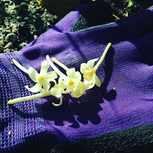お洒落なパパイヤの花