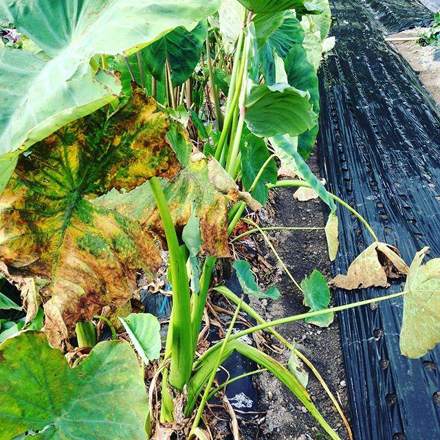 日本の芋!里芋の葉が枯れ気温が通算で達成しましたので随時収穫出荷開始です!