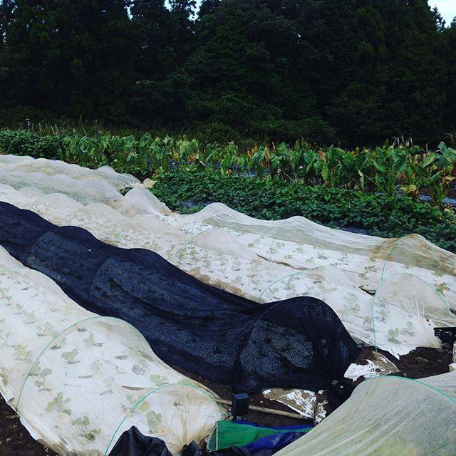 畑は、夏から秋の収穫から来年に移行して姿を変えてます。キュウリなどウリ科などは、台風が去ると撤去です!