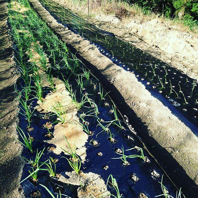 年末、年始向けの早出し玉ねぎです!11月から来年3月まで随時植えつけになります。