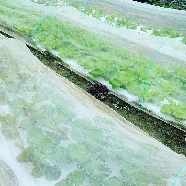 11月後半から12月収穫予定の葉物ですが、台風次第ですね
