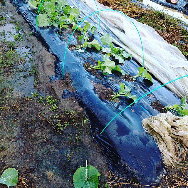 網が飛ばされキャベツの葉が台風で引きちぎてますが、このベットのみでした。