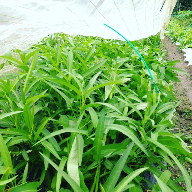 空芯菜の露地も収穫出荷してます。