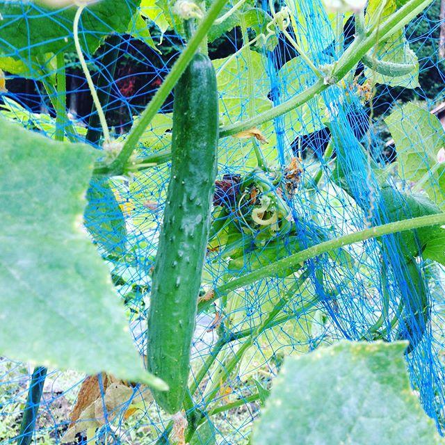 夏野菜!キュウリの露地もまだ連続収穫してます。