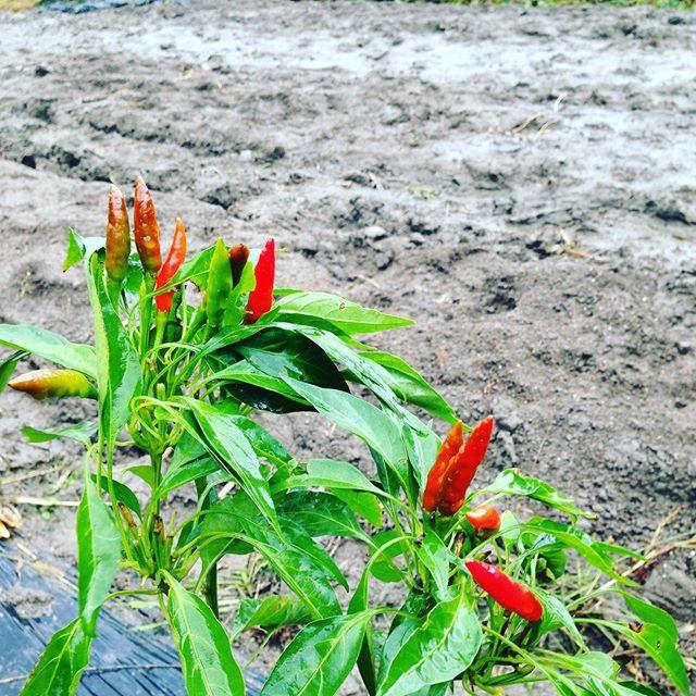 雨の続く状態の収穫しない判断は、耕やしてふかふかな土を踏みつけると土が押し固められて酸素や、成長に必要な栄養を根の吸収が損なわれて病気になりやすくなります。防ぐ方法は色々とありますが、それでも降水量が増えすぎると収穫出荷はできないと判断します。