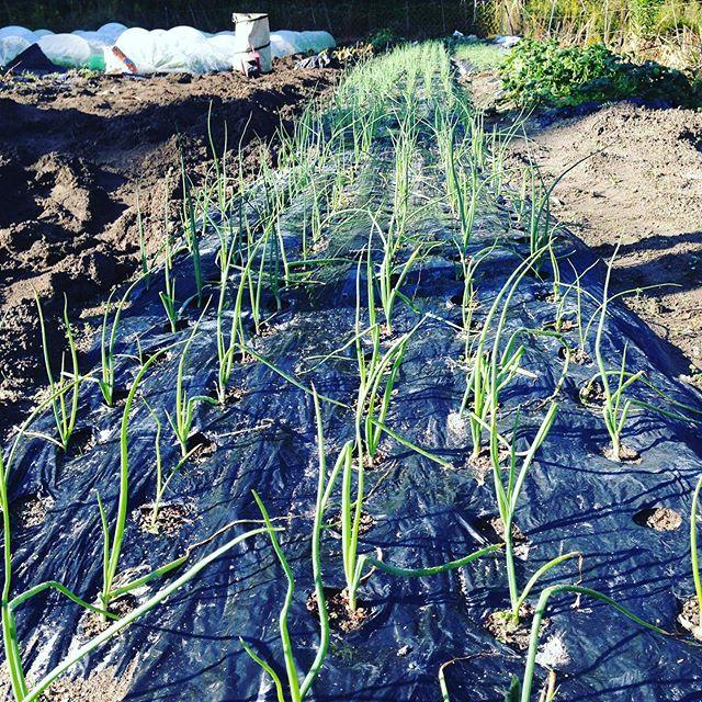 早生品種の玉ねぎは、さすがに成長が早い