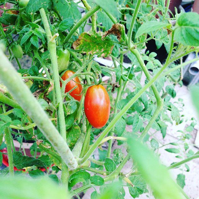 トマトもぼちぼち数が揃って来ました