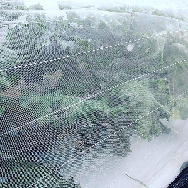 プチヴェールが、そろそろ防虫ネットの頂上まで到達しました!近く収穫です!