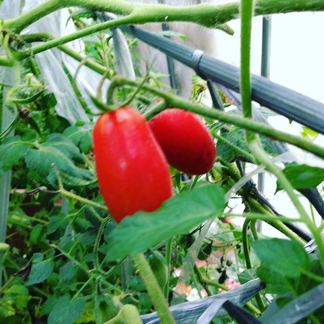 ハウスの中は、一定なのでゆっくりと、トマト、胡瓜、イチゴ、茄子などなど成長してます。