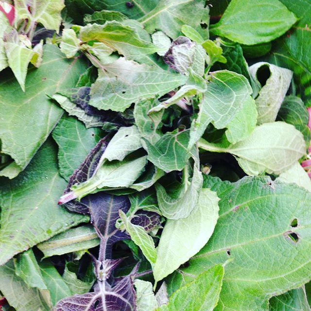 ヤーコンの葉です!茎は今日収穫しますが、お茶の作り方についてはネットでたくさん出てますので探して見て下さい!さて、ヤーコンは、アイスやスイーツで人気ですね〜きんぴら、サラダだけではもったいない?