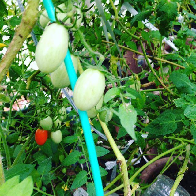雨が降り続く時は、ハウスの中で栽培している野菜の作業をじっくりとやることになります。