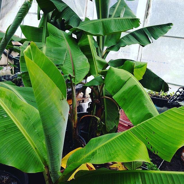 ハウス内のバナナですが、バナナ栽培をフィリピンでやってる友人は、1600メートルの高地で栽培して日本で販売されてますが、伊賀でバナナとか笑ちゃいますね〜バナナは気温が低い地域では成長が凄くゆっくりでもちもち食感で高価ですね〜耐寒性にするには、特別な栽培方法があり、今は教えてもらった方法で栽培してます。