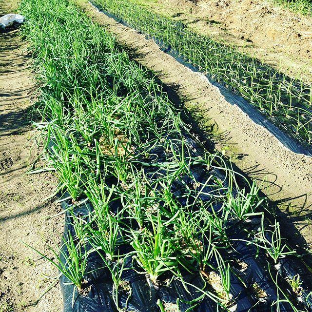 葉付き鍋玉ねぎは、12月前に収穫?