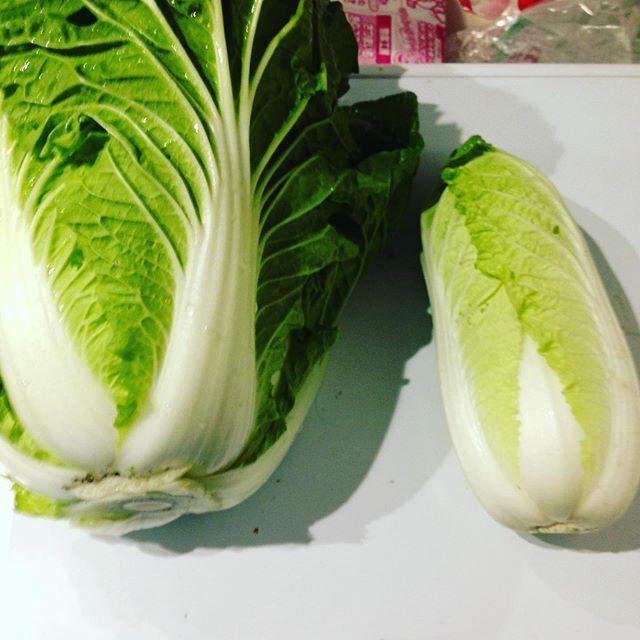 右側が、ミニ白菜で、左側が1キロ超えの白菜です!ミニは、小さいけど甘くてサラダにもぴったりです。