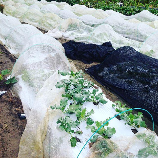 少しだけ風で、防虫ネットがめくれてます。水はけの良い場所から収穫開始!