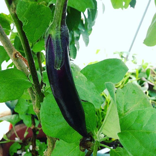 ハウスの中にある茄子は、夏野菜ですから成長が遅いですね〜明日から晴れたら日光調整します。