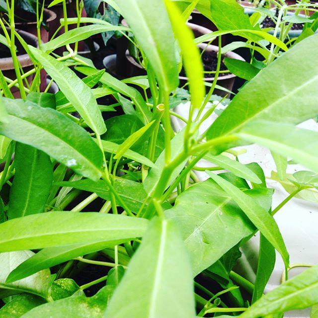 露地の空芯菜は、今日でお別れ終了また来春ですが、ハウスの空芯菜は量が少ないですが出荷します。