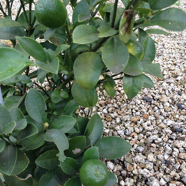 庭で料理の調味料として活躍する柑橘