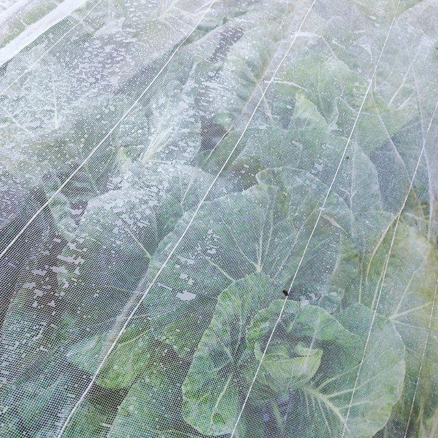 11月収穫予定のキャベツの様子です。