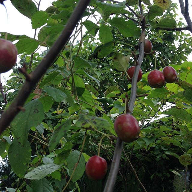姫林檎の木です!お菓子に林檎風味でヤーコン、ヨーグルトと合わせてスイーツにできます