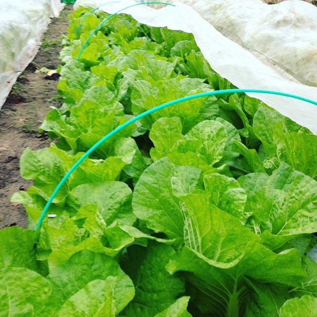人気のお手頃ミニ白菜を収穫です!鍋にもサラダ、おひたし等にちょうどいいサイズ 外の葉もバッチリ美味しくなってます 昨日食べて見ました 笑
