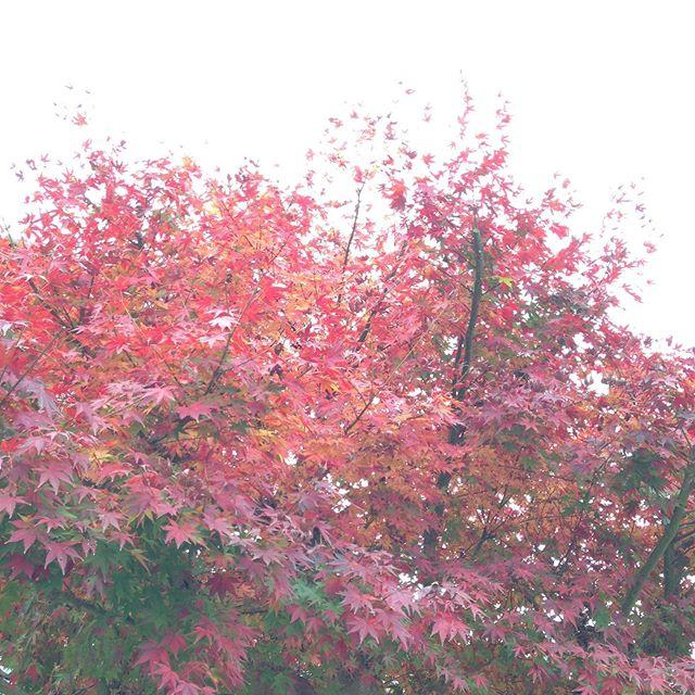 北風が吹いてもみじは、一気に葉が落ちて落ち葉拾いで暖冬とは言え冬に入りますね〜