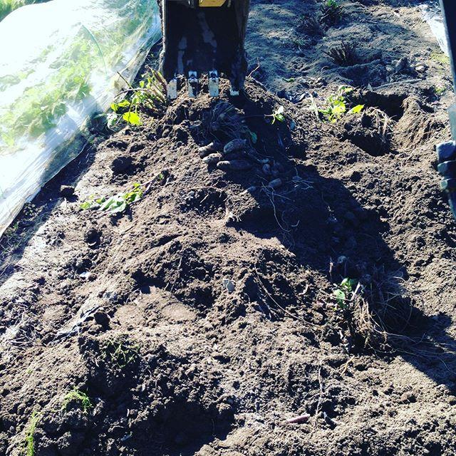 ヤーコンも今日のノルマ達成!午後から何かを3000位植えます。