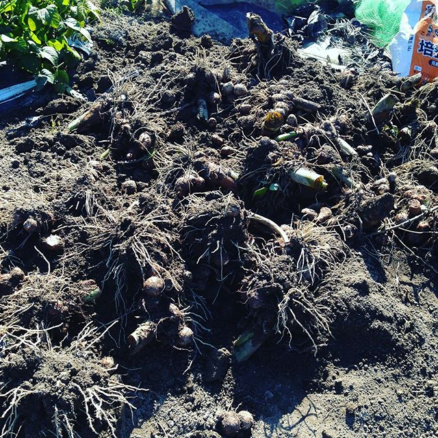忍者の里の芋を掘る!