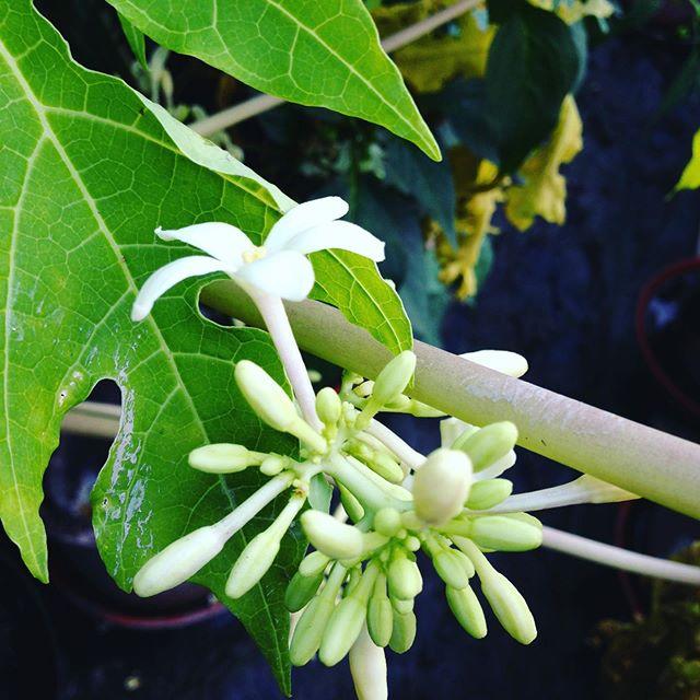 パパイヤの花が咲いては落ちてます!また来年までお休みですね