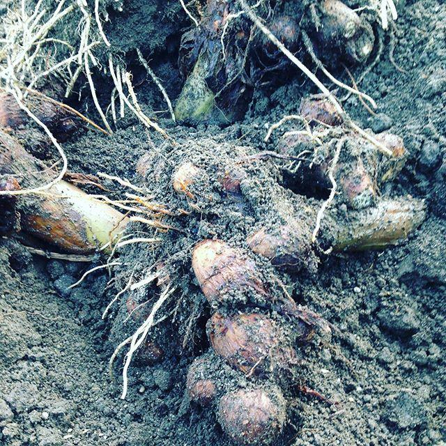 こちらは里芋です!寒気に触れて美味しいです!こちらも収穫は続きます。