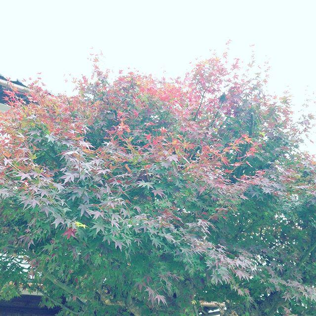 家の紅葉は、少し赤くなってますが、やはり昨年度より遅いですかね