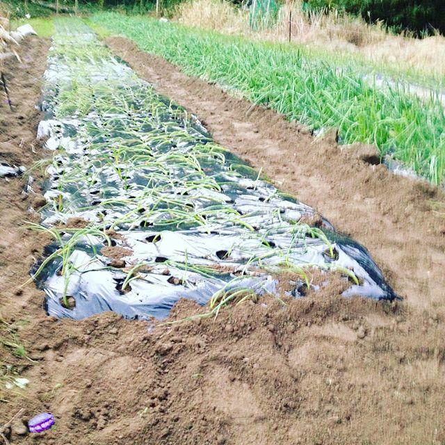 オクラのあった場所も玉ねぎを植え付け完了!明日も玉ねぎですかね?