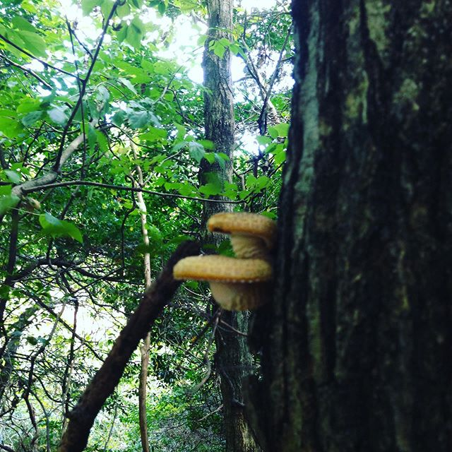 これは栗の木に生えるクリタケ!木と共存共生してます!人も助けあいしないとね〜