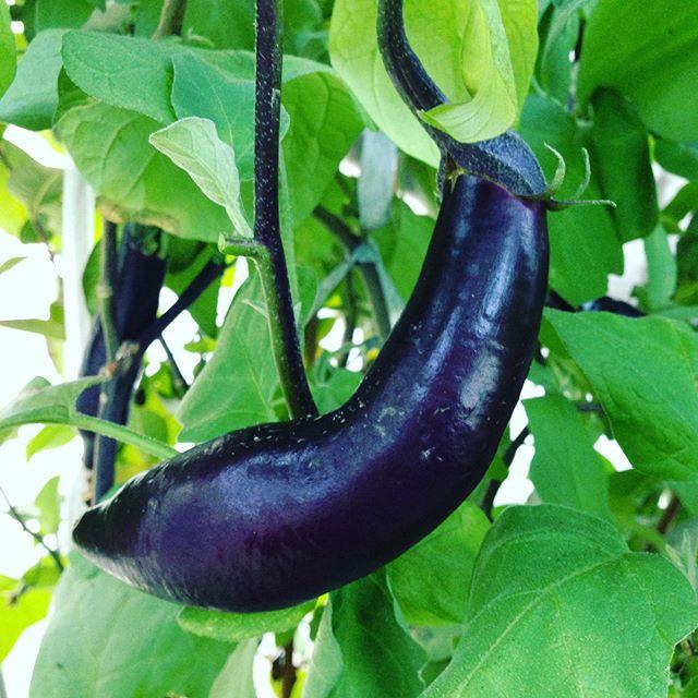 茄子も大きくしない品種は収穫可能ですかね〜