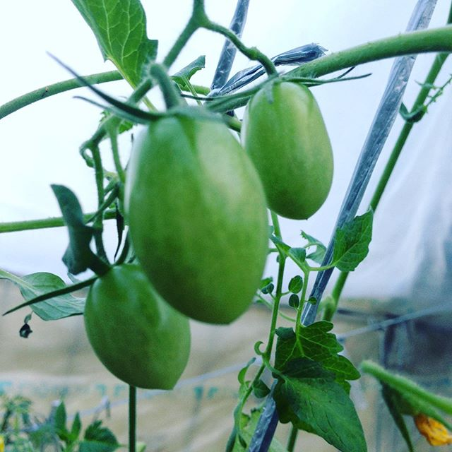 トマト、茄子、ピーマンはハウスの中でも太陽の傾きで紫外線が無いと成長はゆっくりです!勿論燃料もたくさん使いますね〜だから全国的に夏野菜は高なりますね