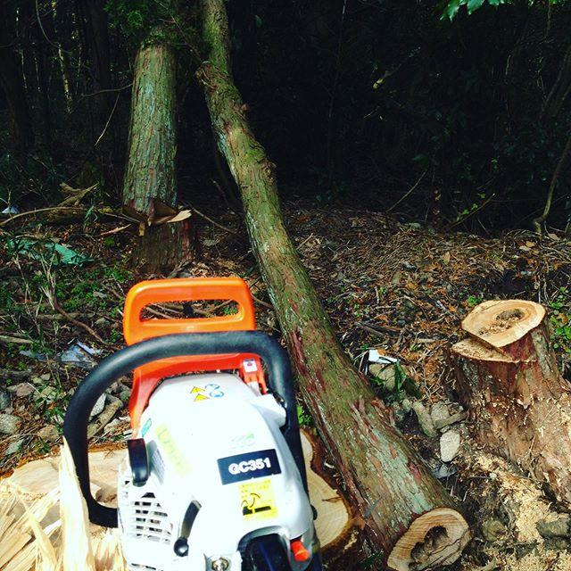 当然、チェンソーで切ってますが、倒す方向はあってますが、別の台風で倒れた木にひかかって綺麗に倒れなかったので後で、ユンボで倒します!