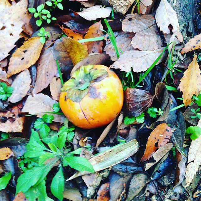 山に柿が落ちてました!近くに柿の木はありません!猿か鳥の落とし物で、こうして種から柿の木になりますね〜