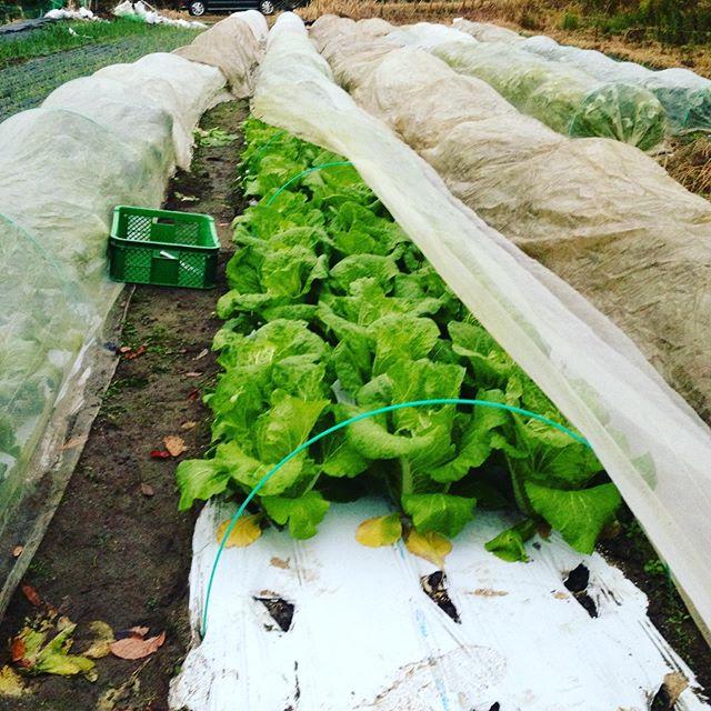 白菜、里芋はやはり人気ですね〜収穫してます!