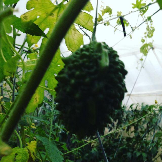 耐寒性のゴーヤの種2年目です!12月に実がなるには?継続栽培中