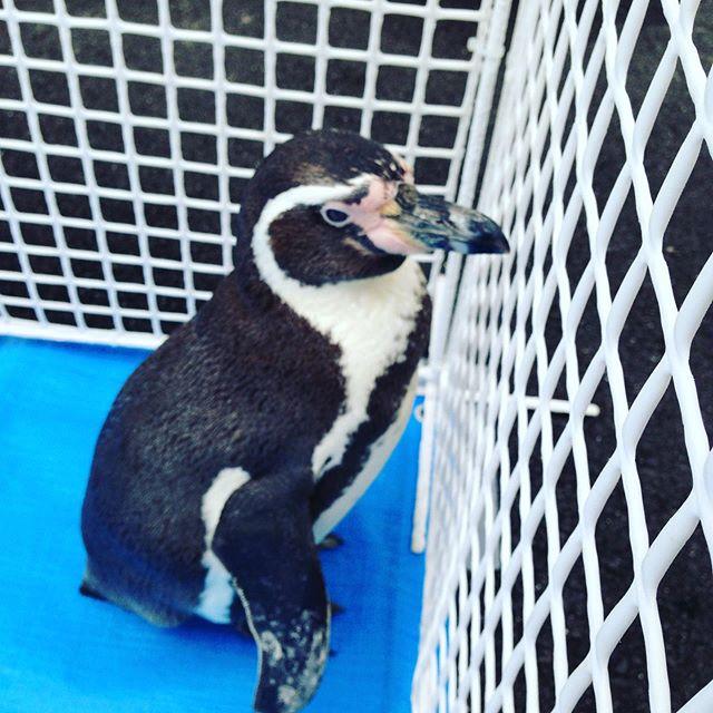 フンボルトペンギンが到着しました!