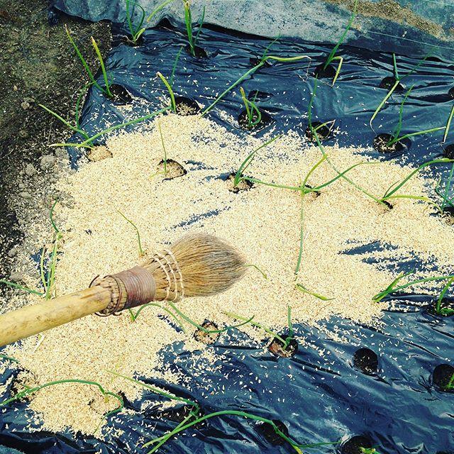 ほうきを使って穴に入れます!後は雨や風に任せると楽です!