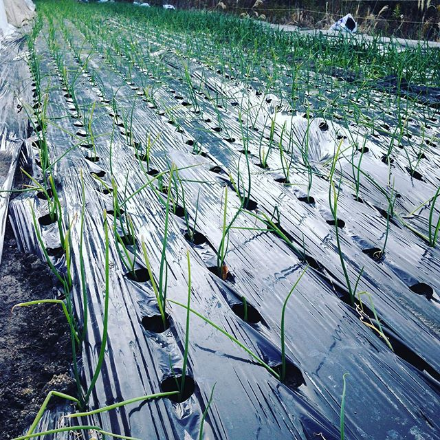 明日はお休みです!畑は玉ねぎの脇から草が生えてきましたので除草作業で、除草後に追肥して、もみ殻で草を生やさない様にします!