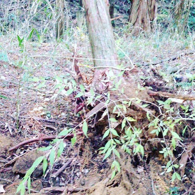 最近の木は、移動することも可能だといいのに 畑の作業に戻ります