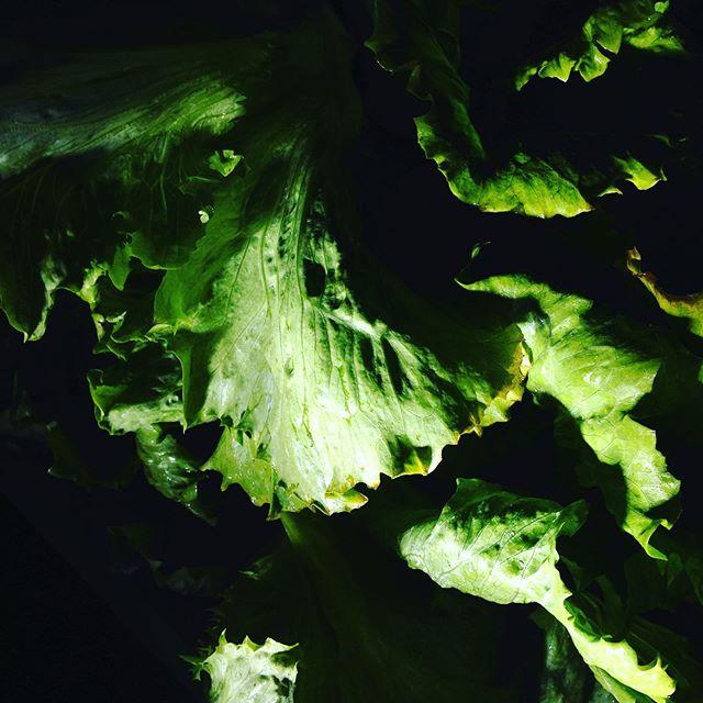 レタスが、雨と気温が上がり少しだけ収穫できました。