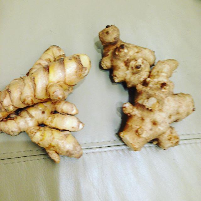 さて、これはキクイモとウコンを並べて見ました!右と左それぞれ答えなさい!答えは明日