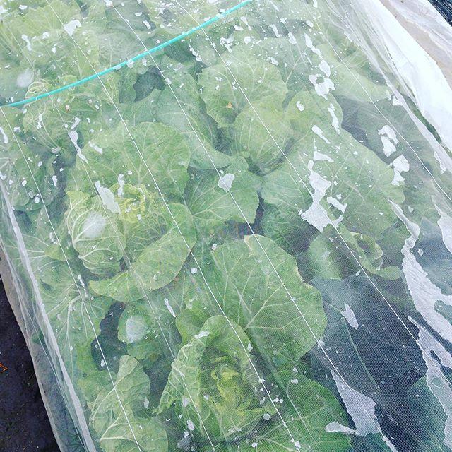 白菜を収穫してます!そろそろ1月出荷予定分が無くなりそうですかね