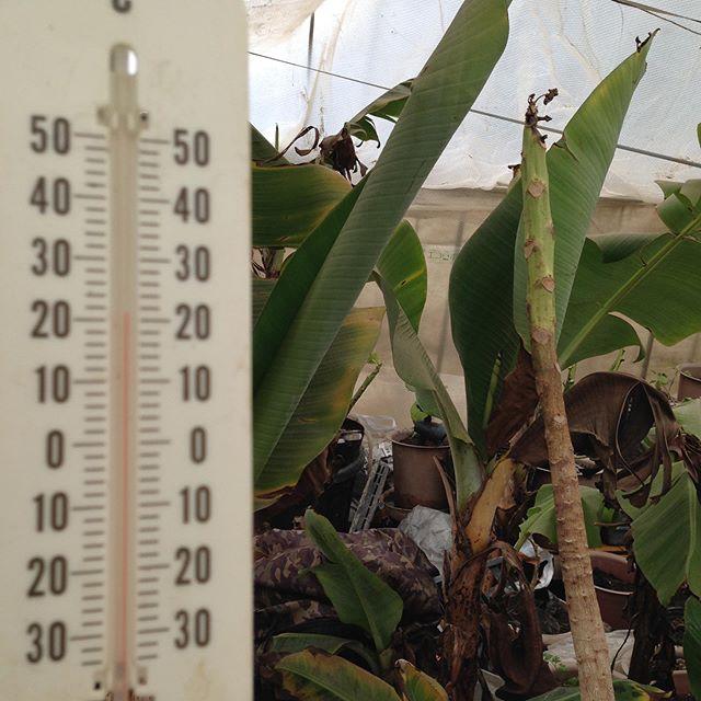 まだ1月なのに外気温も上がったので、ハウスの中は気温は上昇してます!
