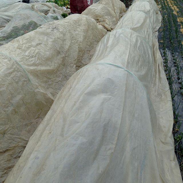 明日の寒気に備える作業!これは米の苗の時に使うハウスのベジタロンスーパーですが近くの農家さんから無料で貰いました。私もハウスで苗でいっぱいになったら30センチぐらいの苗木様の机を作り苗木を育てる時や寒気に備える時に使います!つまりハウス無くても安価に苗は作れますよ!頑張れ