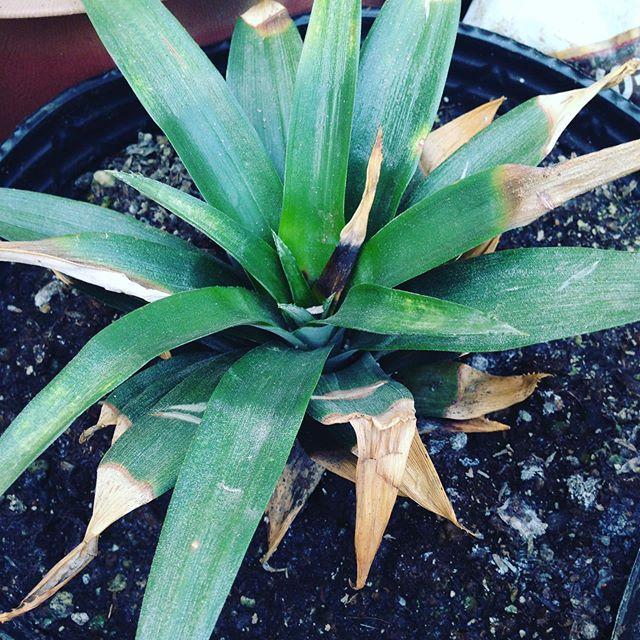 パイナップルは、ちゃんと成長してます!室内にもありますが、食べて切って育てられ久しぶりの水と肥料を与えます!